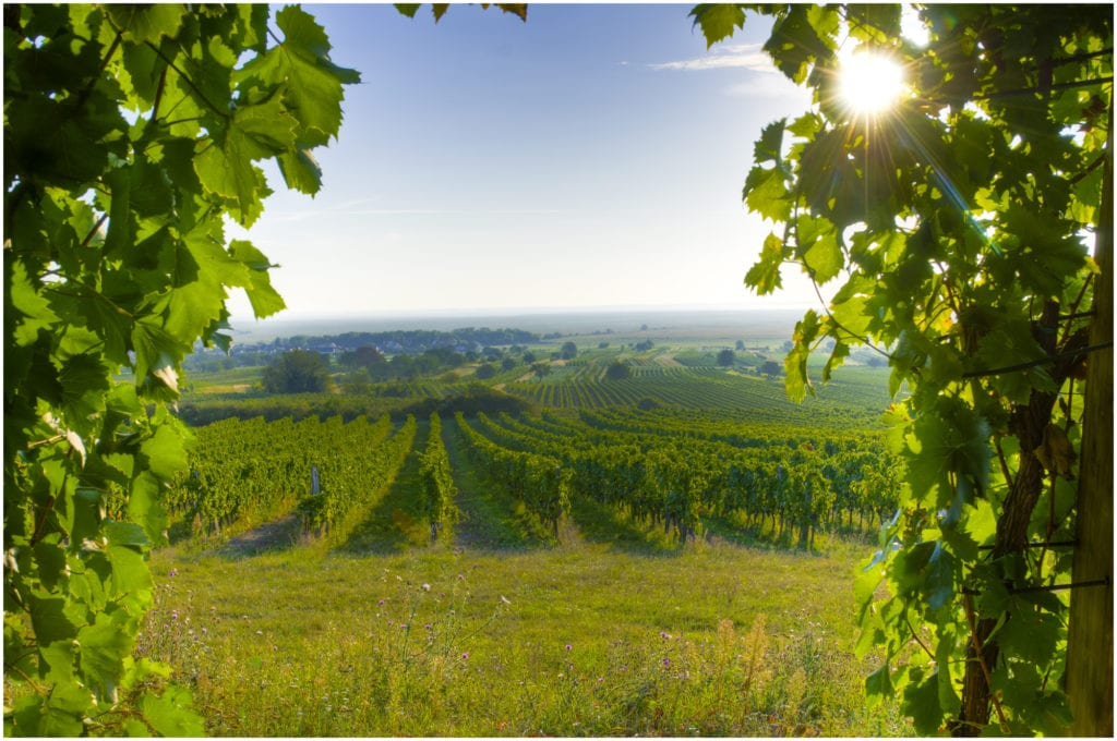 View on vineyards in Burgenland, Austria